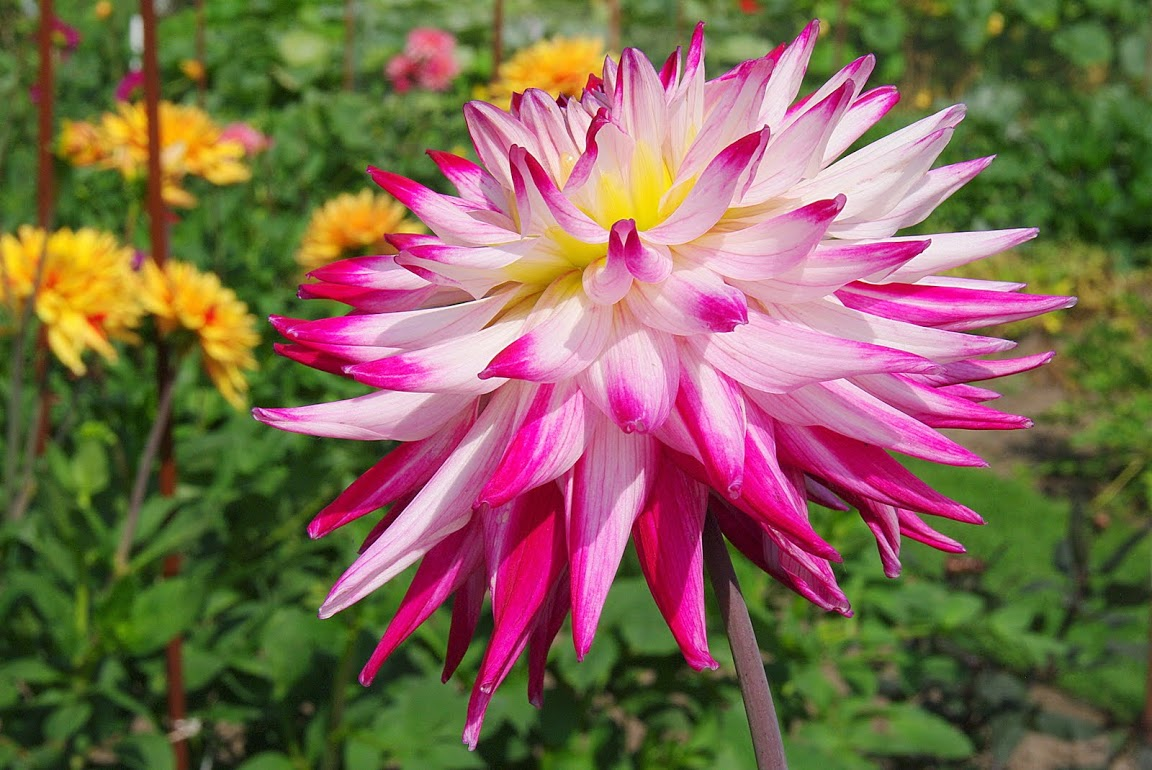 Gele bloem Dahlia Image